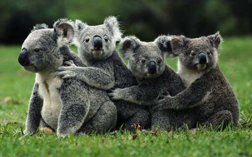 Scienza: koala australiani a rischio estinzione prima del 2050